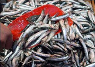 Karadenizli balıkçı hamside hüsrana uğradı