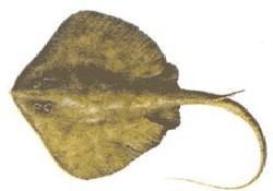 Vatoz balığı için bilimsel çalışma