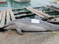 Tarabya sahiline vuran 'Afalina' türü yunus av tüfeği ile katledildi