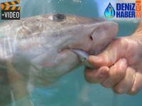 Turistler köpekbalıklarıyla yüzme keyfi yaşıyor