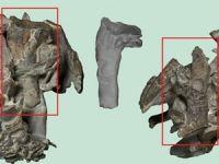 Yeni Zelanda'da penguen fosili bulundu