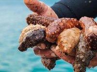 Edirne'de avlanması yasak deniz patlıcanı ve ahtapot ele geçirildi
