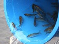 Samsun'da 40 bin yavru balık dereye bırakıldı
