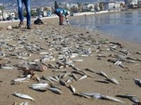 Alanya'da ölen binlerce gümüş balığı sahile vurdu!
