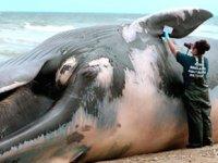 Filipinler'de ölü balinanın midesinden 40 kilogram plastik çıktı