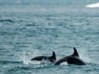 Karadeniz'deki yunus varlığı araştırılıyor
