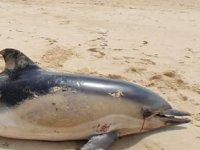 Fransa'da yılbaşından bu yana onlarca yunus kıyıya vuru