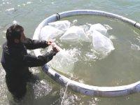 Kuşadası'nda 20 bin çipura ve levrek yavrusu denize bırakıldı