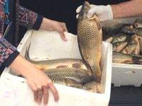 Kaçak avlanan sazan balığı ve ağ ele geçirildi