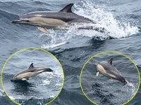 Denizkurdu Tatbikatı'nda yunus balıkları, savaş gemileri ile yarıştı