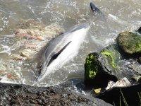 Sinop'ta ölü yunus balığı kıyıya vurdu