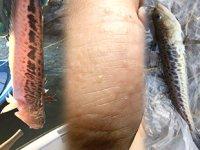 Bursa sahillerinde zehirli balık alarmı verildi