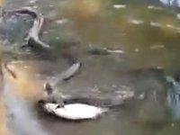 Aç kalan yılanlar balıkçıların kâbusu oldu
