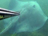 Çanakkale Boğazı'nda dev vatoz görüntülendi