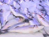 Sinop'ta tezgahlar kafes balıklarına kaldı