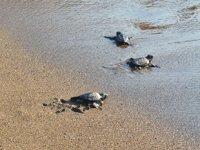 İztuzu sahilinde yavru carettalar denizle buluşuyor