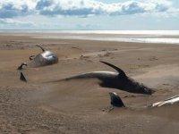 İzlanda'da 50 adet balina kıyıya vurdu