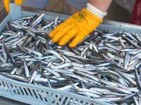 Karadenizli balıkçılar, Temmuz ayında hamsi şaşkınlığı yaşıyor