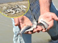 Murat Nehri'ndeki balık ölümleri endişelendirdi