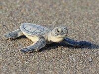 Binlerce kaplumbağa yavrusu denizle buluştu