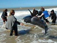 Arjantin'de kıyıya vuran 6 katil balina kurtarıldı