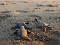 Mersin sahillerinde 40 bin yavru kaplumbağa denizle buluştu