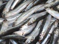Balıkçının umudu Karadeniz'in soğumasına kaldı