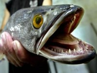 Karada 4 gün yaşayabilen Asyalı istilacı balık, Amerika'ya yayıldı