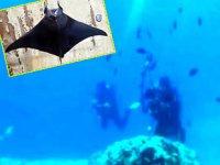 Antalya Körfezi'nde şeytan vatozu' görüldü