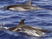 Akdeniz ve Karadeniz'de 11 bin yunus ile balina gözlemlendi