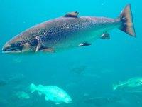 Deniz ürünü yiyenlerin yüzde 95'i somon tüketiyor