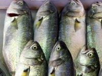 Lüfer, Marmara'da balıkçının yüzünü güldürmeye başladı