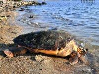 Balıkçı ağına takılan caretta tedavi edilerek doğal ortamına bırakıldı