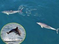 Yunuslar, İstanbul Boğazı'nda balık avına çıktı