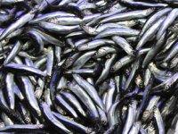 Samsun'da balık fiyatları yüzleri güldürdü