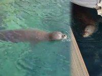 Kaş'ta Akdeniz foku, marina turuna çıktı