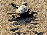 537 bin yavru deniz kaplumbağası denizle buluştu