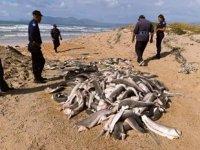 Başları kesilmiş onlarca yavru köpek balığı bulundu