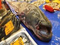 Yeşilırmak'ta tutulan dev yayın balığı ilgi odağı oldu