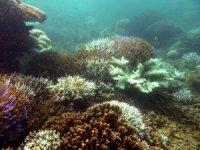 Mercan resifleri 2100'ü göremeyecek