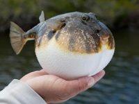"""""""Balon balığı avlama bedeli 10 lira olsun"""""""