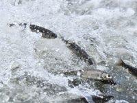 Van Gölü'nde, İnci kefalini bekleyen yeni tehlike