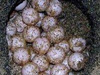 Caretta carettalar ilk yumurtalarını bıraktı