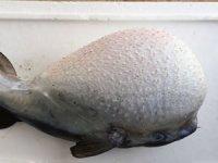 Akdeniz'de yerli balıklar azalıyor, tropikal balık türleri artıyor