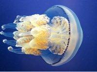Denizlerin ısınması ve kirlilik, denizanası sorunu yaratıyor