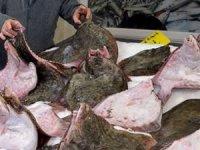 Balıkçı tezgahları kalkan balığı ile dolmaya başladı