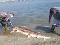 Küçükçekmece Gölü'nde 2,5 metrelik mersin balığı ölü bulundu