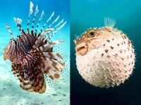 Zehirli balon ve aslan balıklarının biyolojisi çözülüyor