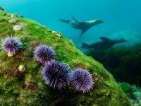 Akdeniz ve Ege için zehirli deniz kestanesi uyarısı!