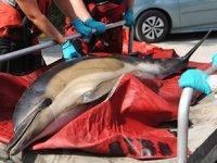 ABD'de sahile vuran onlarca yunus gönüllüler tarafından kurtarıldı